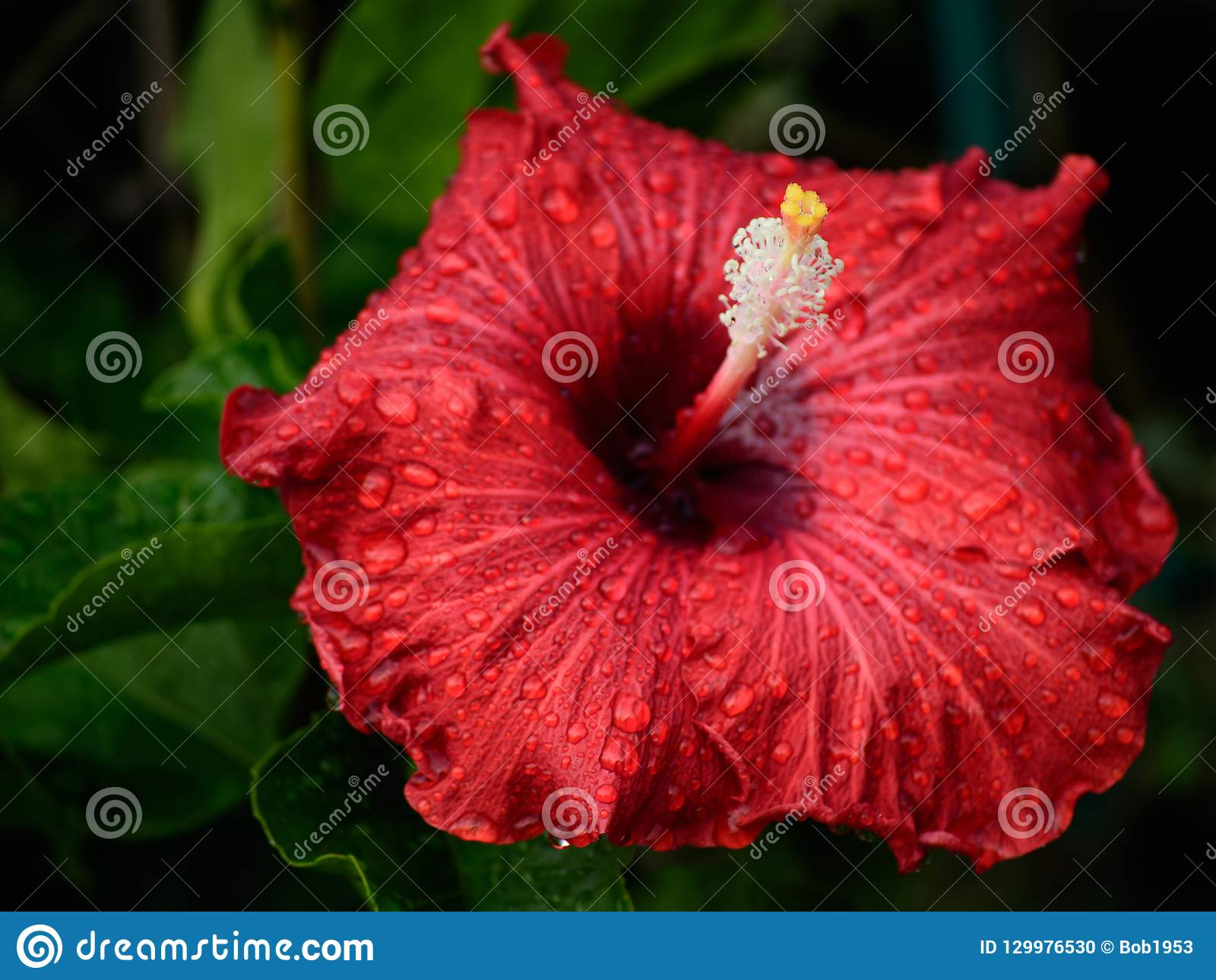 Single Hibiscus In Deep Red With White And Yellow Stock Photo