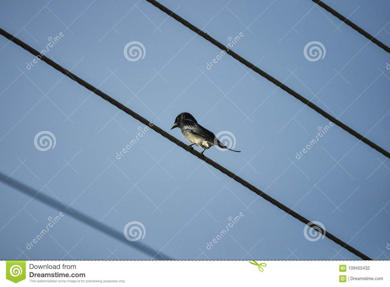 Single Humming Black Bird Sitting On Electrical Wires Stock Photo ...