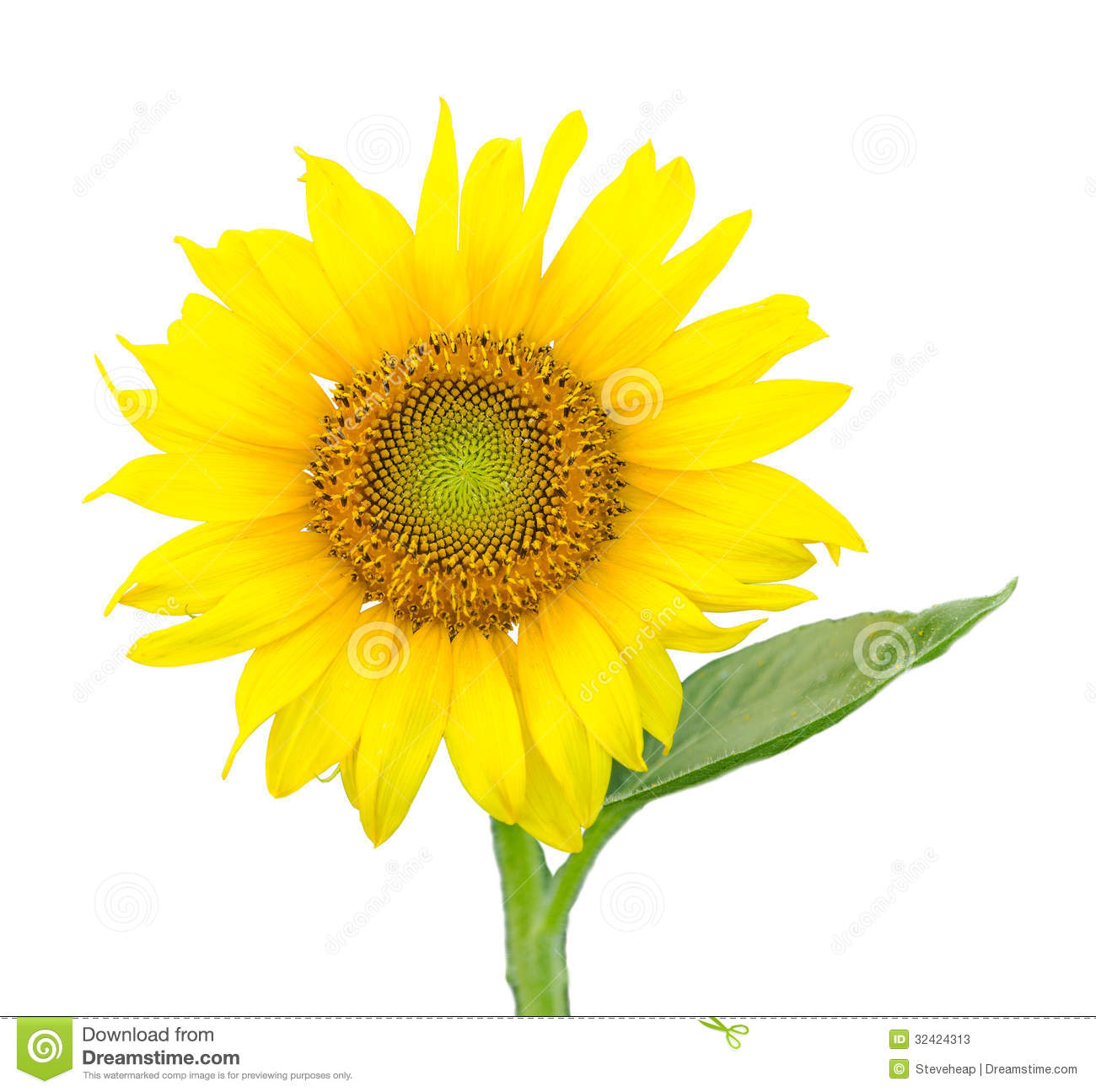 Single Isolated Sunflower Blossom Stock Photos - Image: 32424313