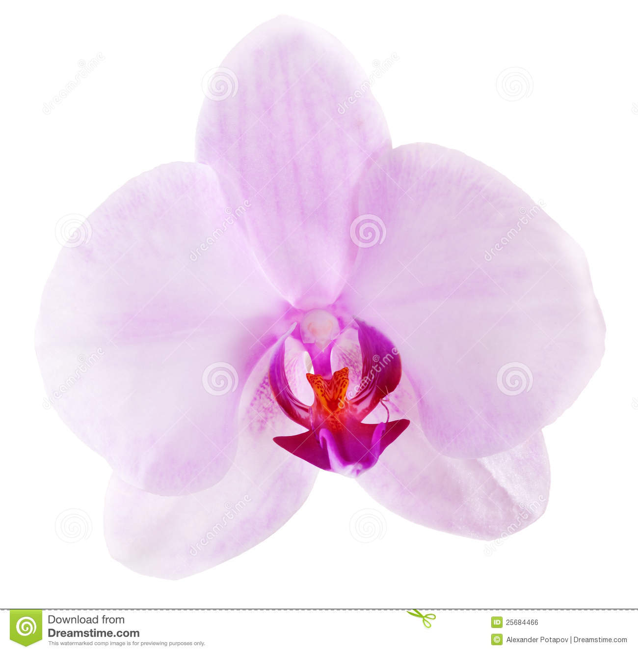 White Orchid Water Pink: Single Light Pink Isolated Orchid Flower Stock Photo