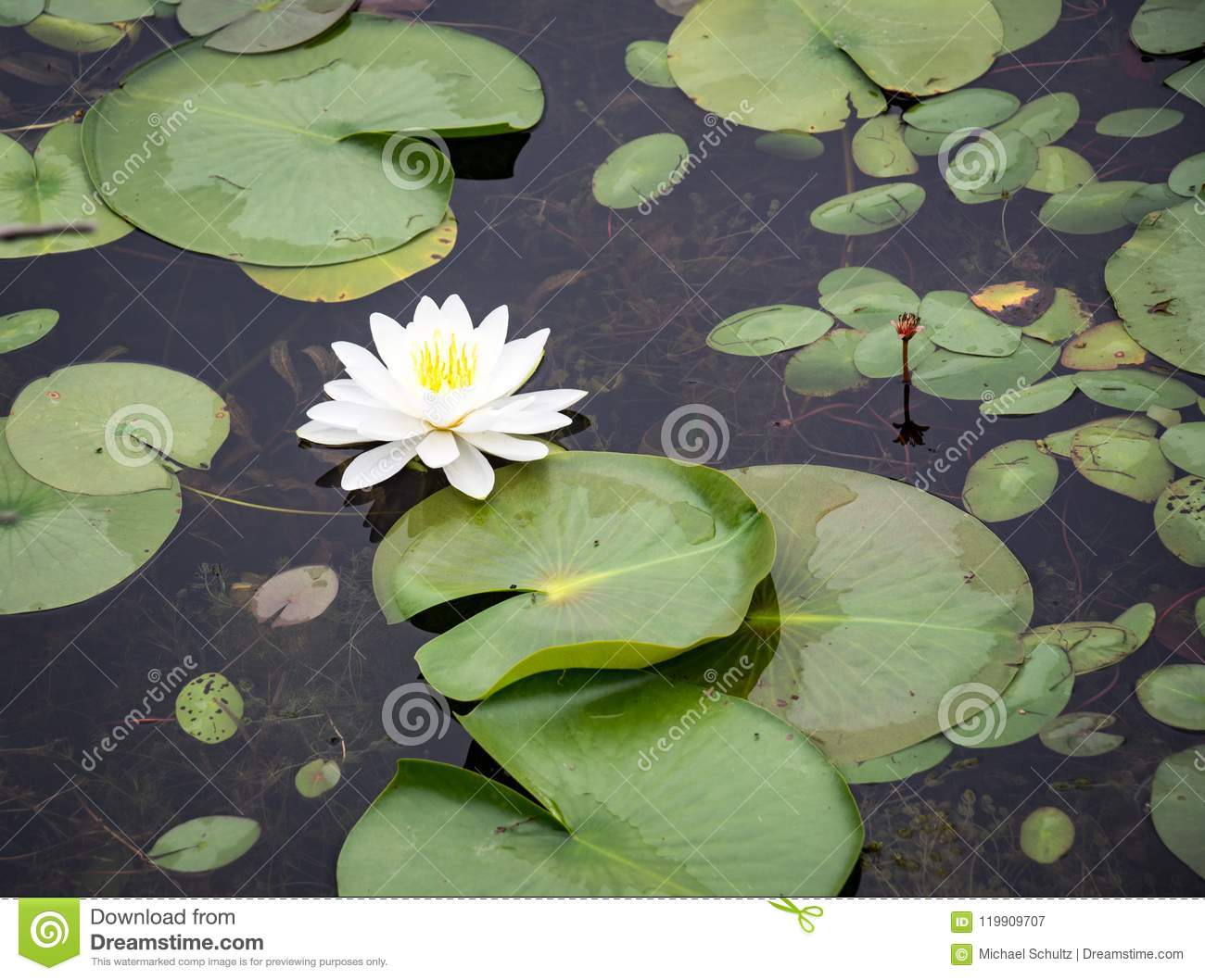 Single Lily Flower On Green Lily Pads Stock Image Image Of