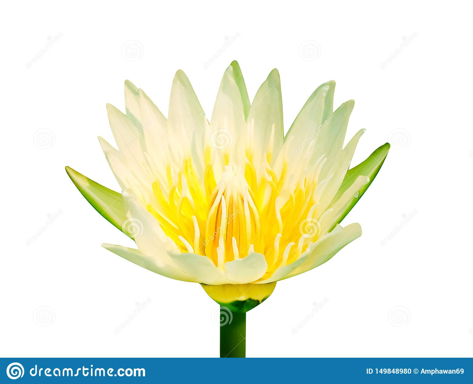 Single lily lotus bud flowers white petal with colorful yellow pollen begins blooming isolated on background with clipping path