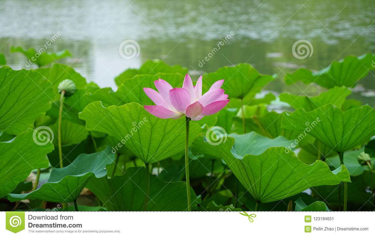 A Single Lotus Flower And A Bud Are Standing In Pond Stock Image