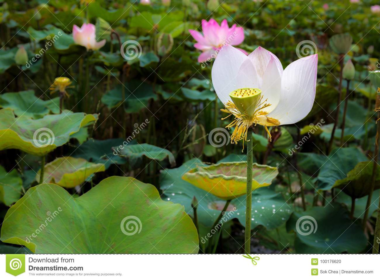 Single Lotus Flower Elegantly Bloom In A Natural Tropical Pond I
