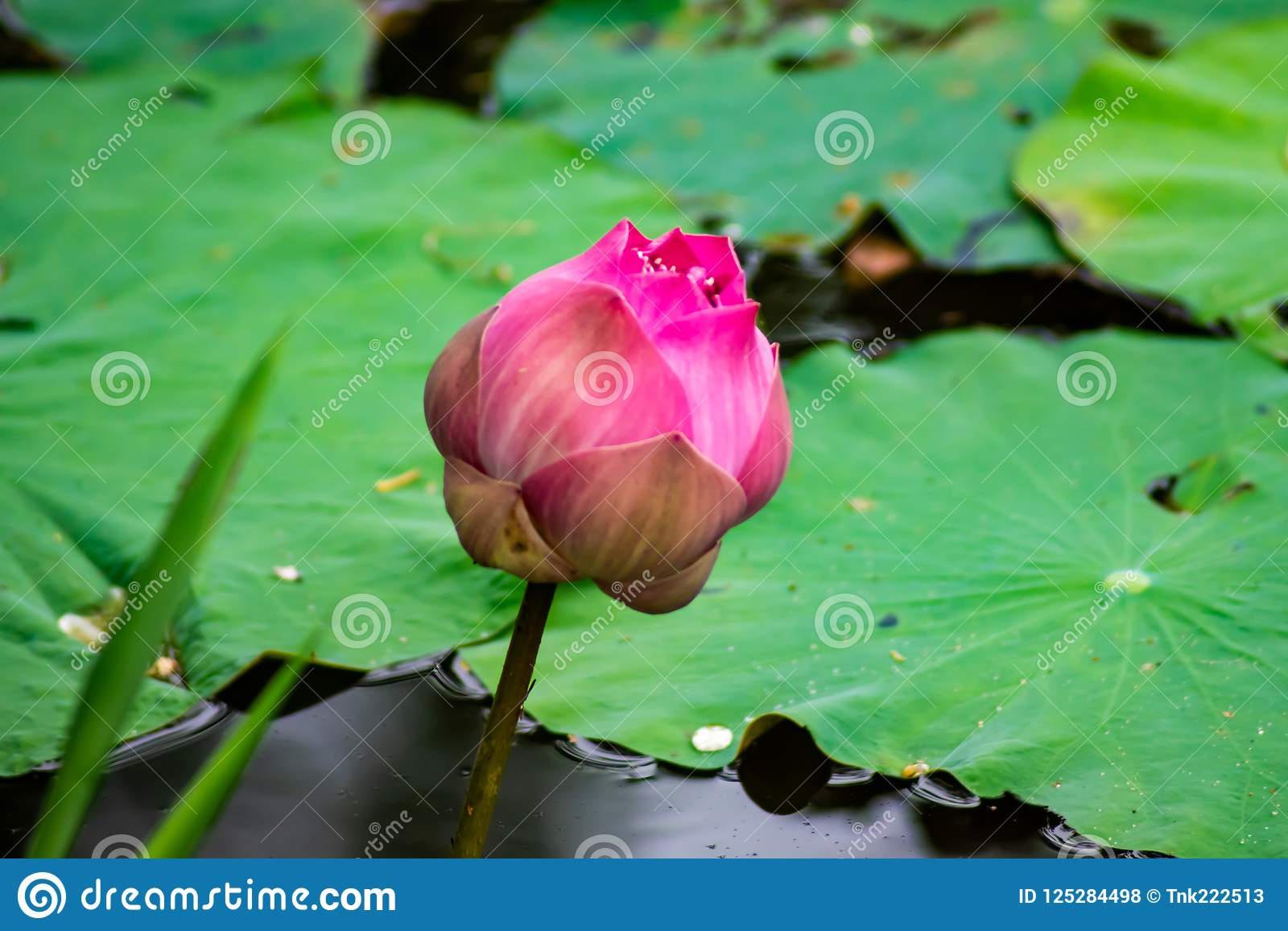Single Lotus Flower Growing Up In The River Stock Photo Image Of