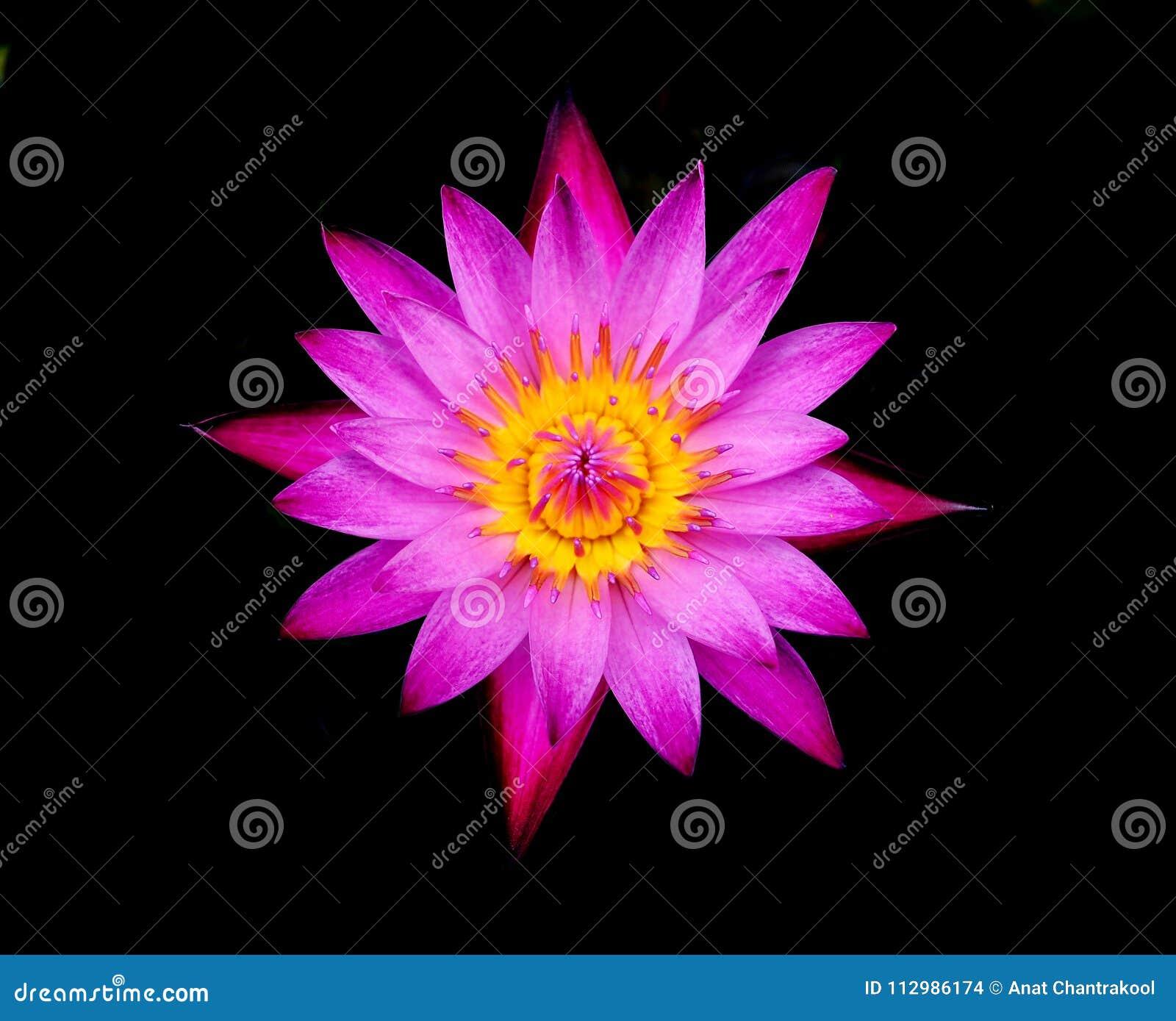 Single lotus flower isolated on black background
