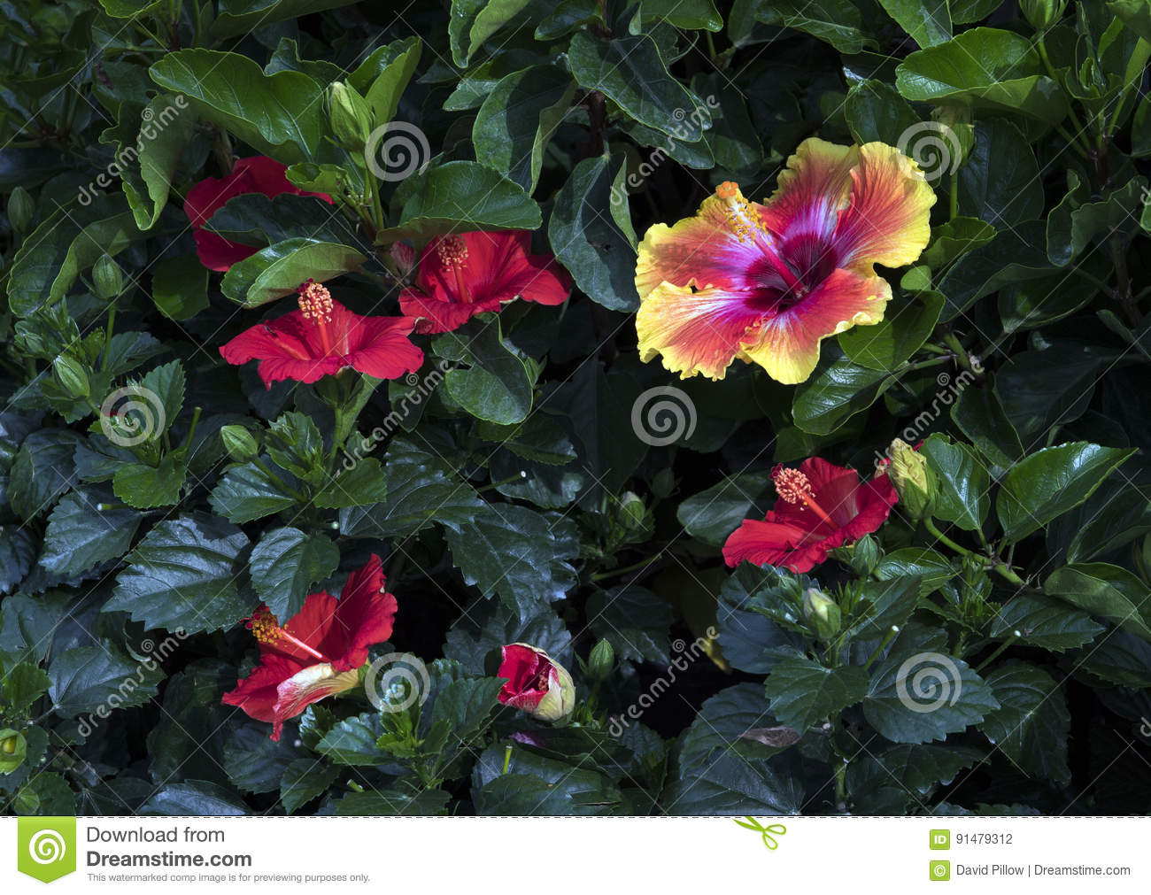 A Single Multicolored Hibiscus Flower With Several Red Hibiscus In ...