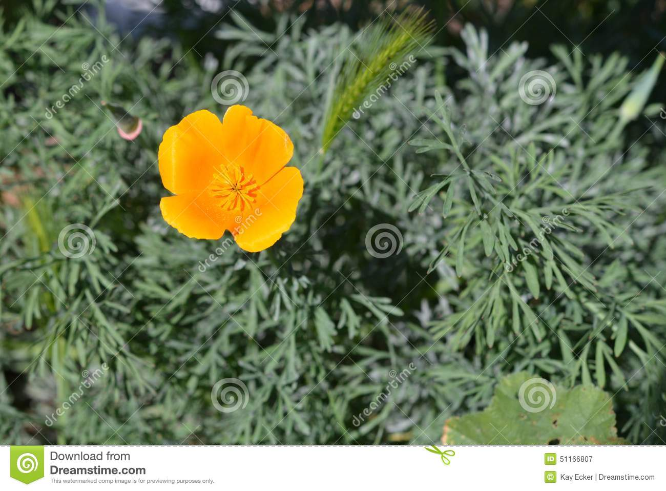 Single Orange California Poppy Stock Image Image Of Space Single