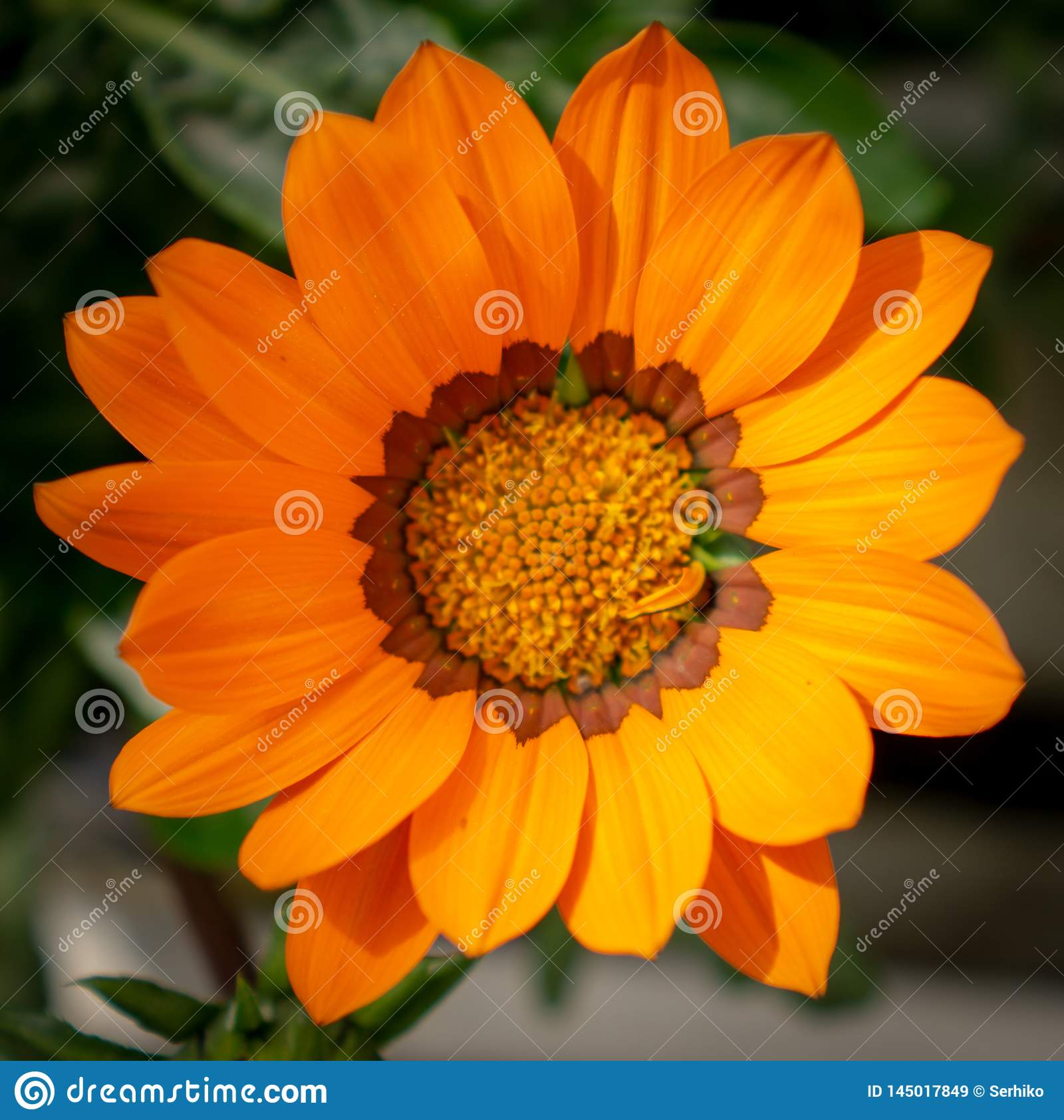 A single orange gazania flower closeup