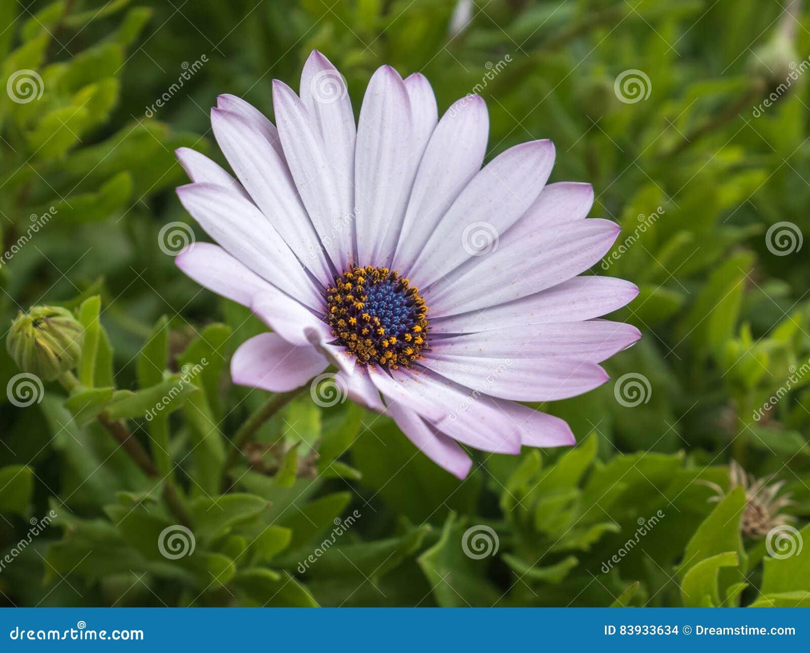 Single osteospermum flower in the garden african daisy stock photo white pinkish daisy flower with blue center green leaves closeup izmirmasajfo