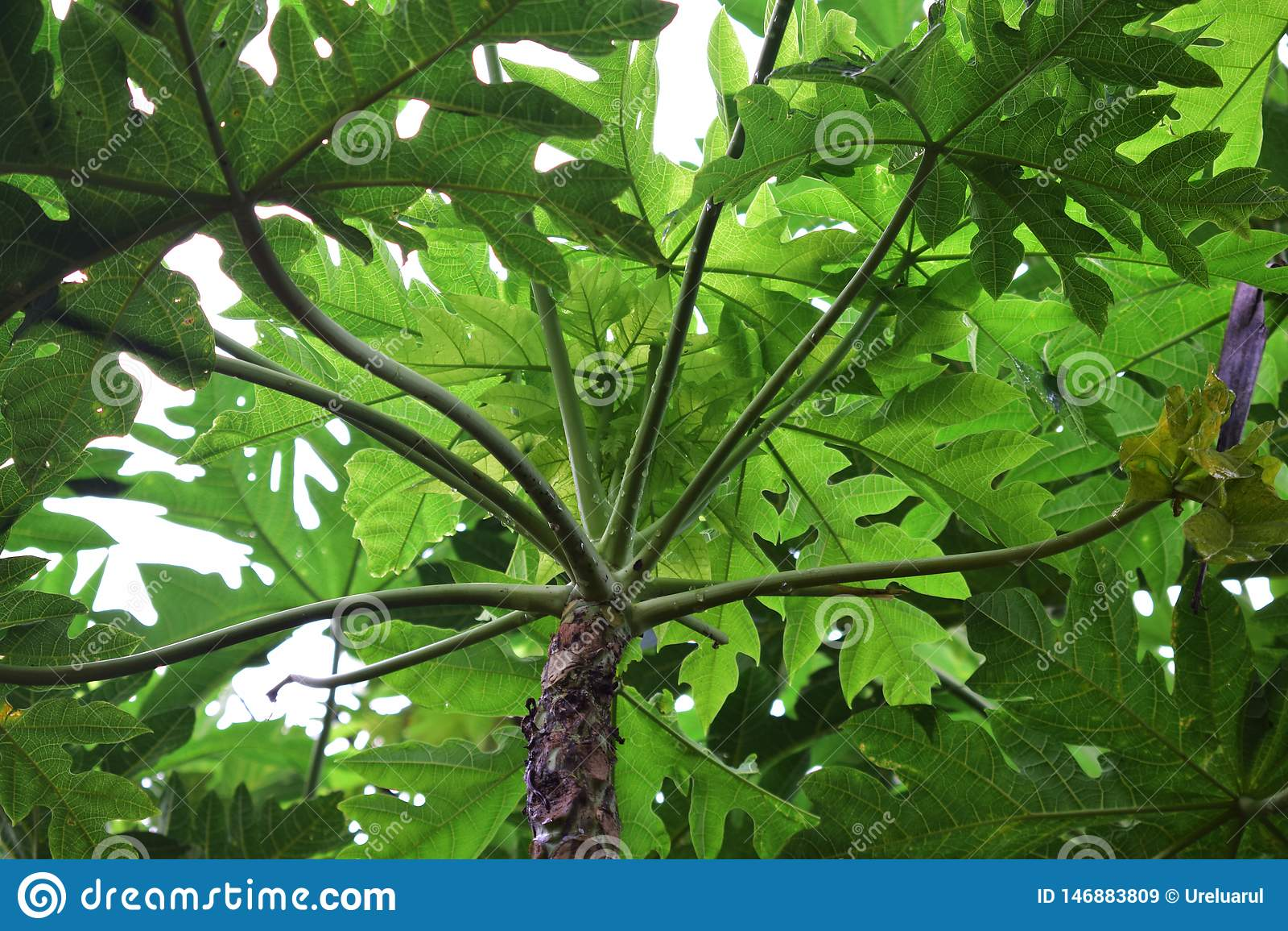 Papaya tree tip. Greeny. Top
