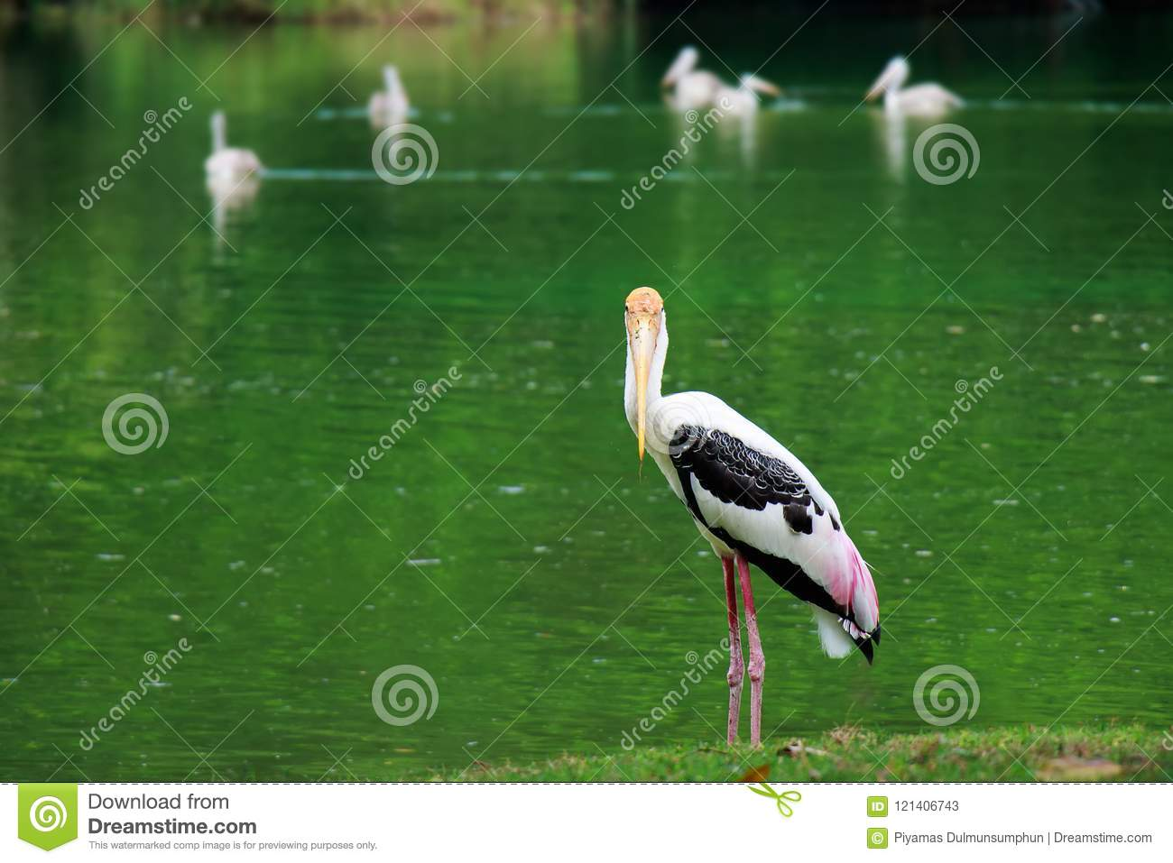 single of pelican catch fish from lake river. Pelican bird wallpaper , animal wildlife background
