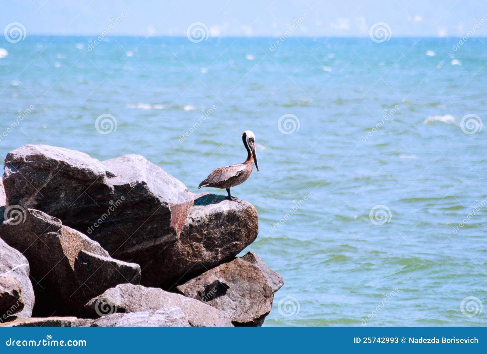 Single pelican on the rocks