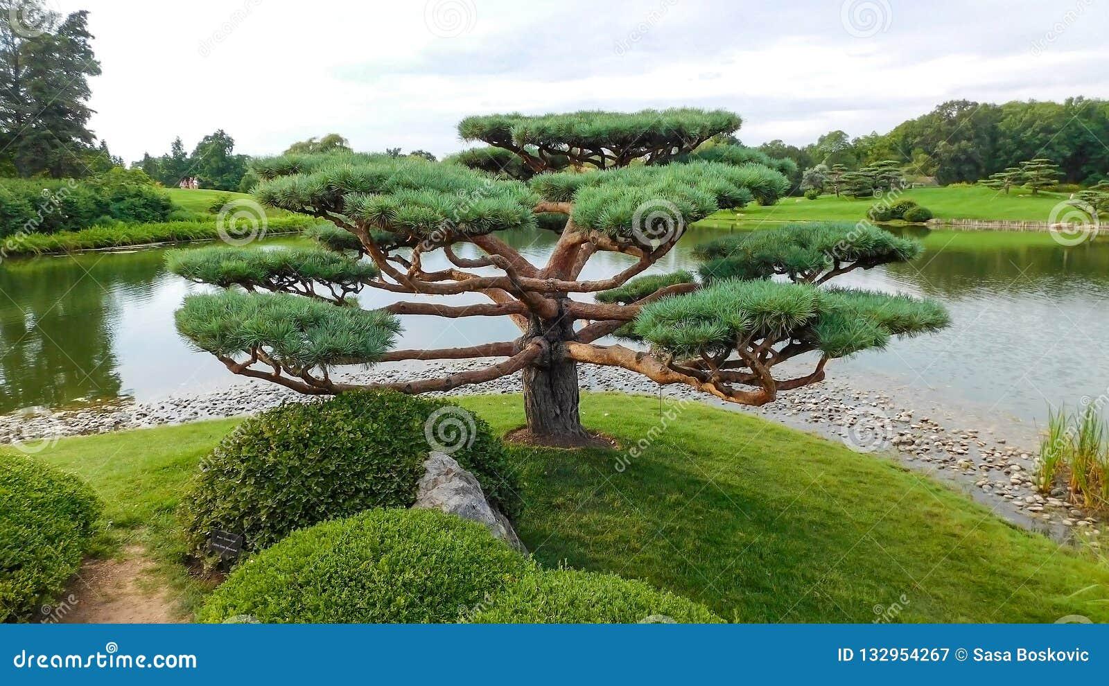 Single Pine Tree In Japanese Garden