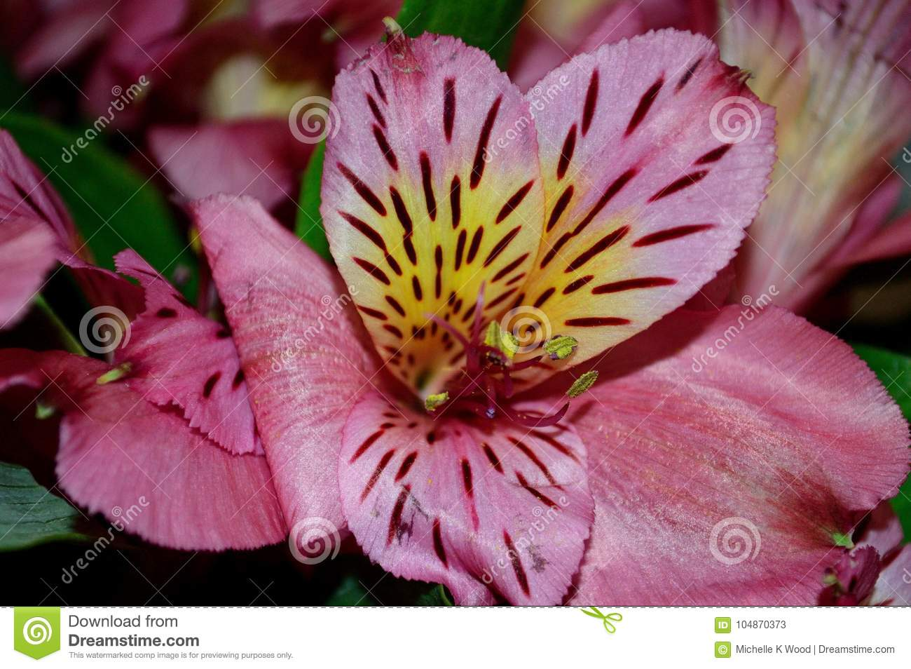 SIngle Pink Day Lily Blossom