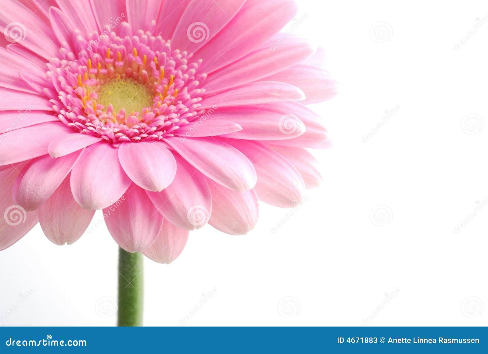 Single pink gerbera