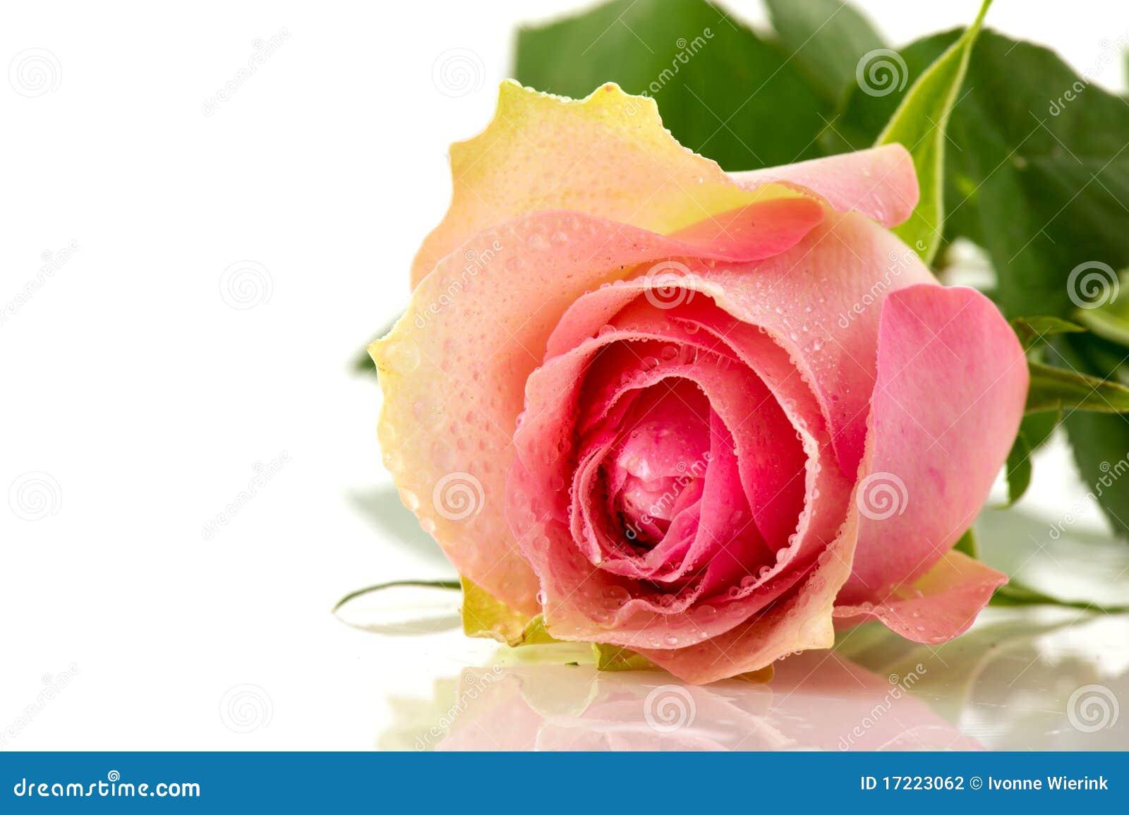 single pink flower rose - photo #46
