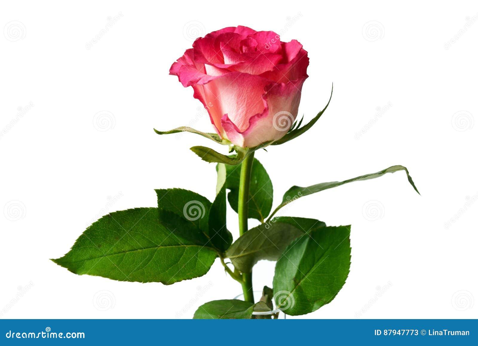 Pink Beauty Flower Single Rose: Single Pink Rose On White Background. Stock Image