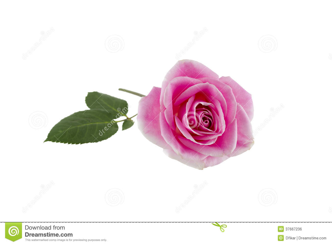 Beautiful Single Red Rose Flower Isolated Royalty Free: Single Pink Rose On White Royalty Free Stock Image