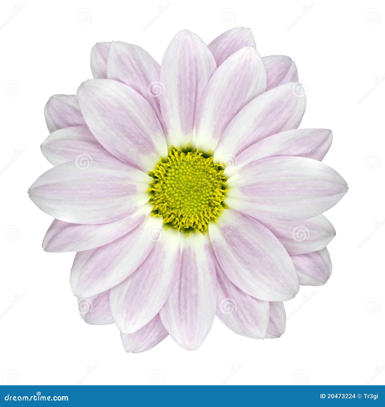 Single pink and white dahlia flower isolated stock photo image of single pink and white dahlia flower isolated mightylinksfo