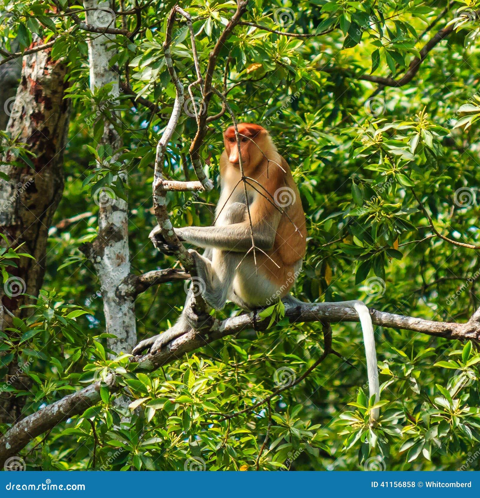 Single Proboscis Monkey sitting in a tree