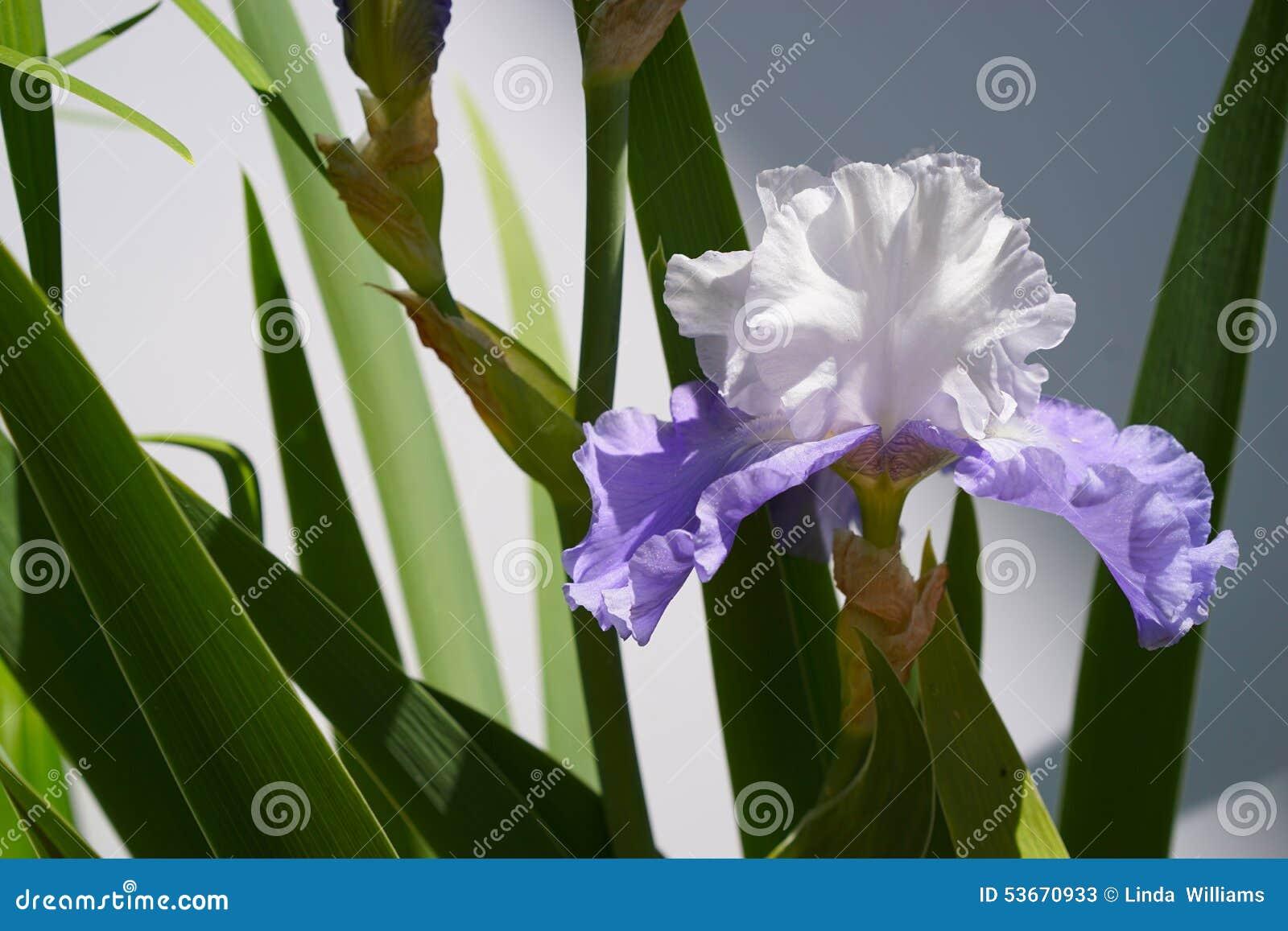 Single purple and white bearded iris - horizontal