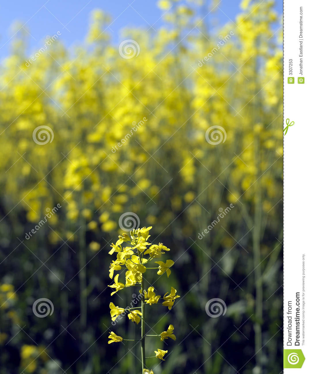 Single Rape Seed Flower Stock Photos - Image: 3307253