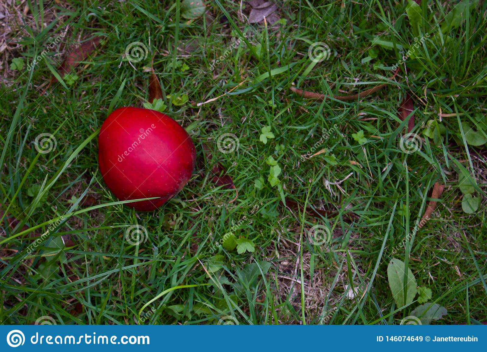 Single Red Apple Lying On Rough Grass In Autumn - Image