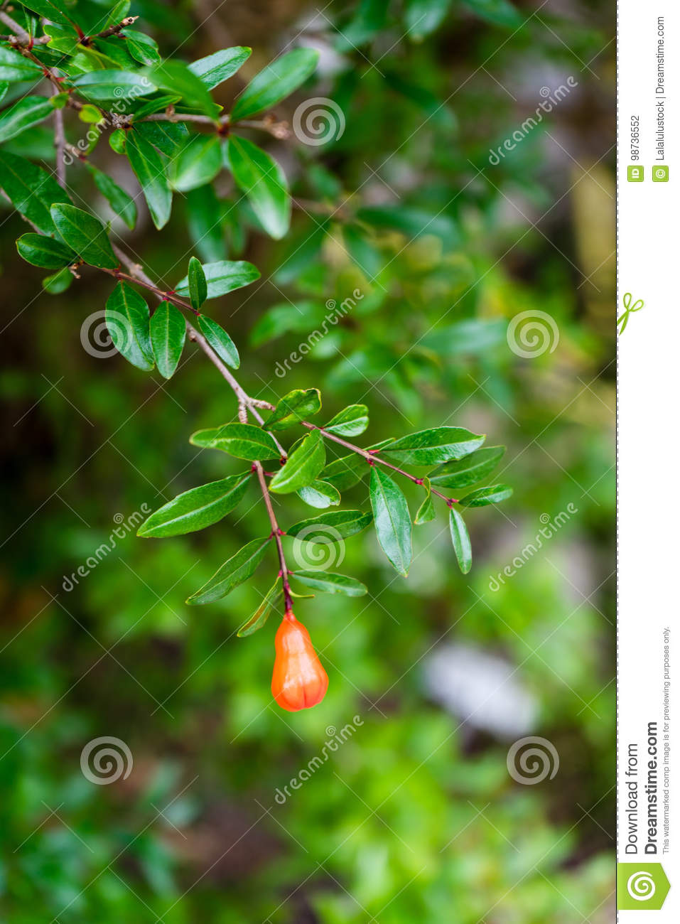 Single red berry fruit hanging from tree