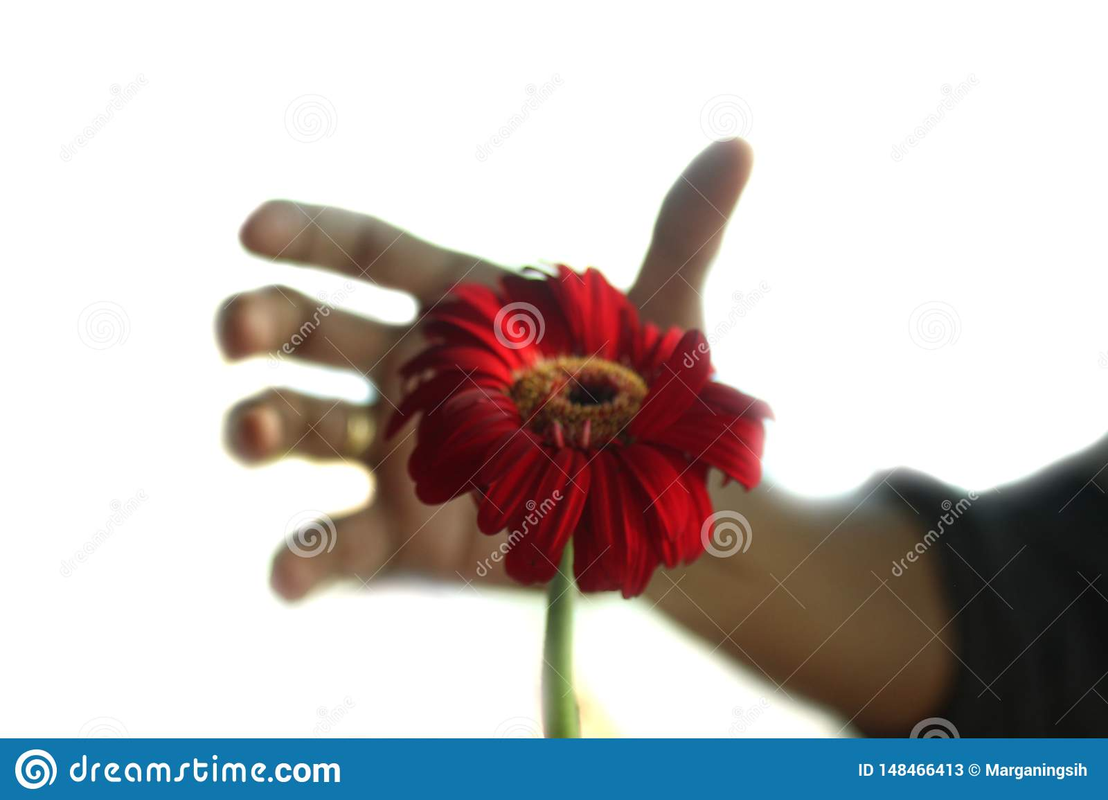 A single red flower head and a man fingers shadow in the background trying to reach the flower. Gerbera daisy flower, a perennial