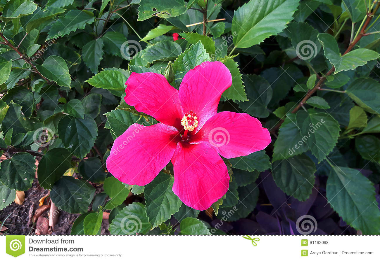 Single red Hibiscus flower stock photo. Image of single - 91192098