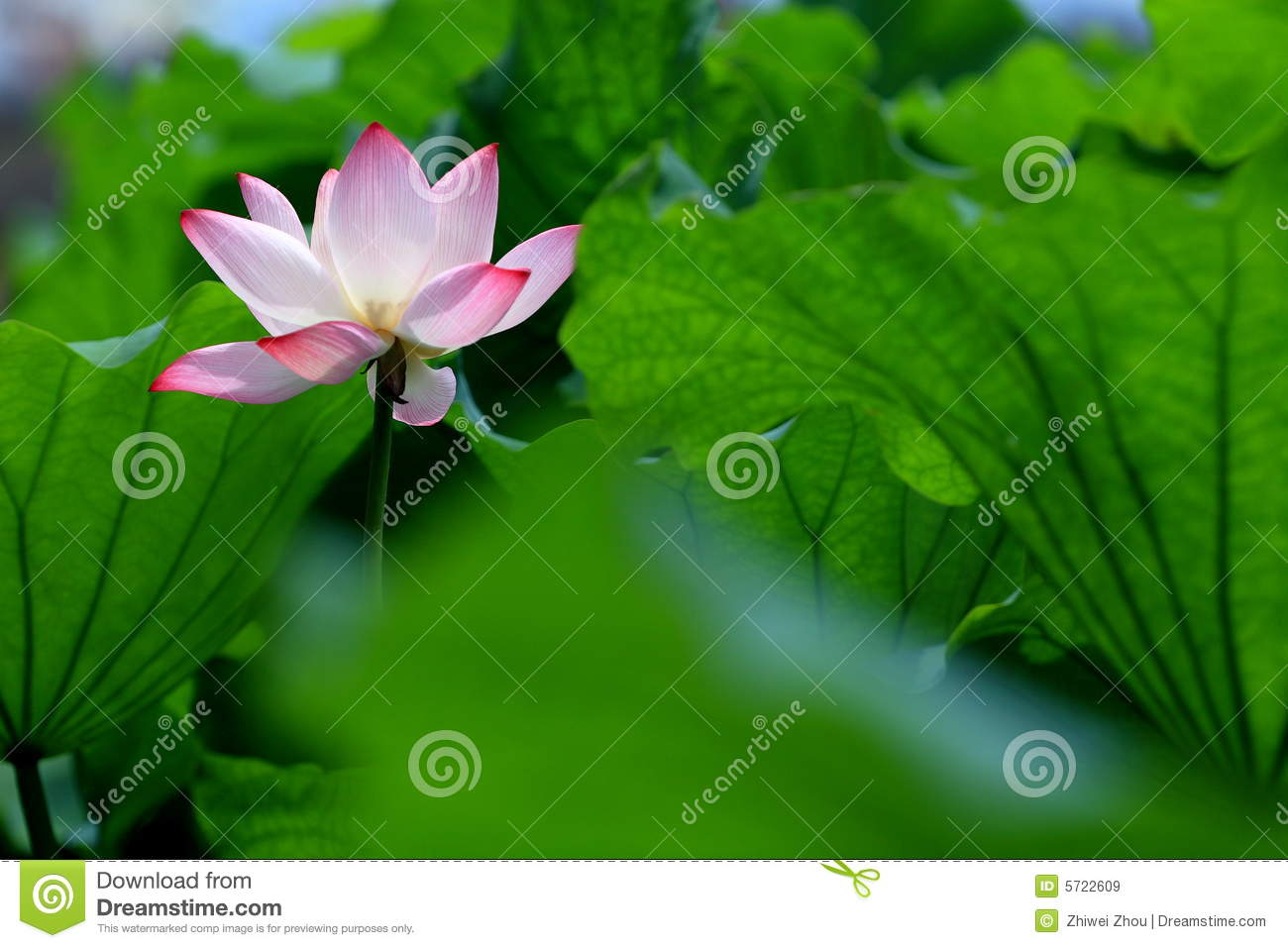 Single Red Lotus Flower With Green Leaves Stock Image Image Of