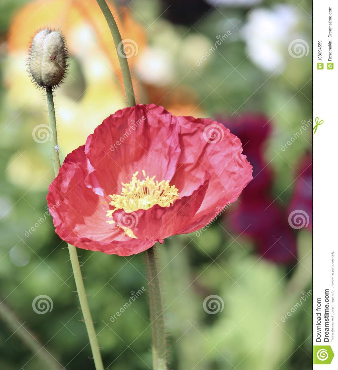 Single Red Poppy Red Flower In Garden Stock Image Image Of Anzac
