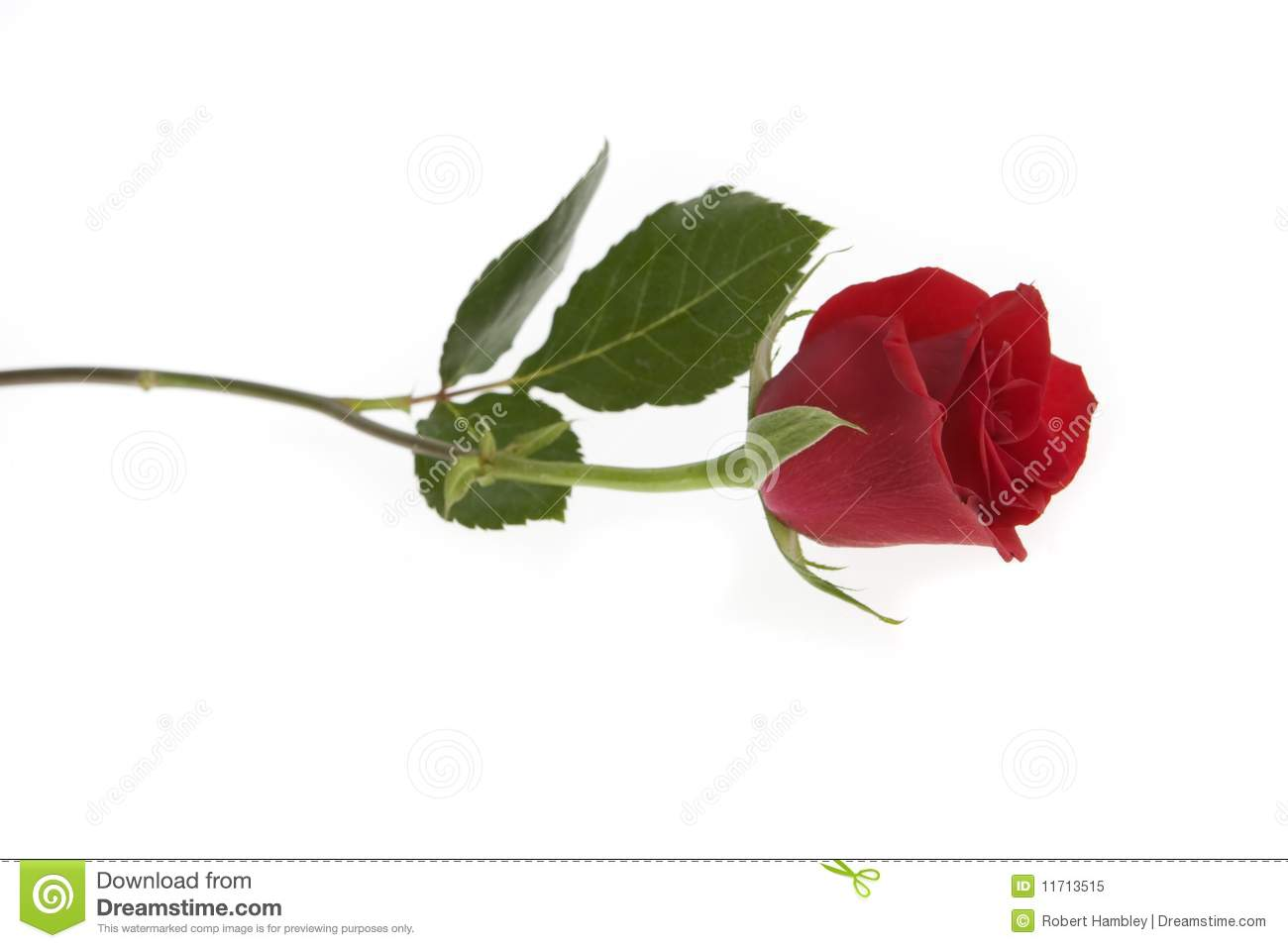 Single Red Rose Flower Stock Images: Single Red Rose Stock Images