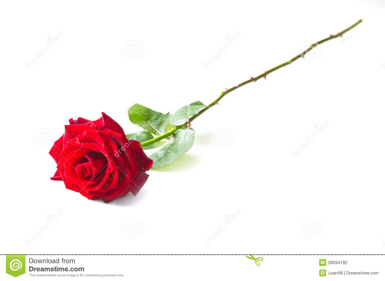 Beautiful Single Red Rose Flower Isolated Royalty Free: Single Red Rose Flower Stock Photography
