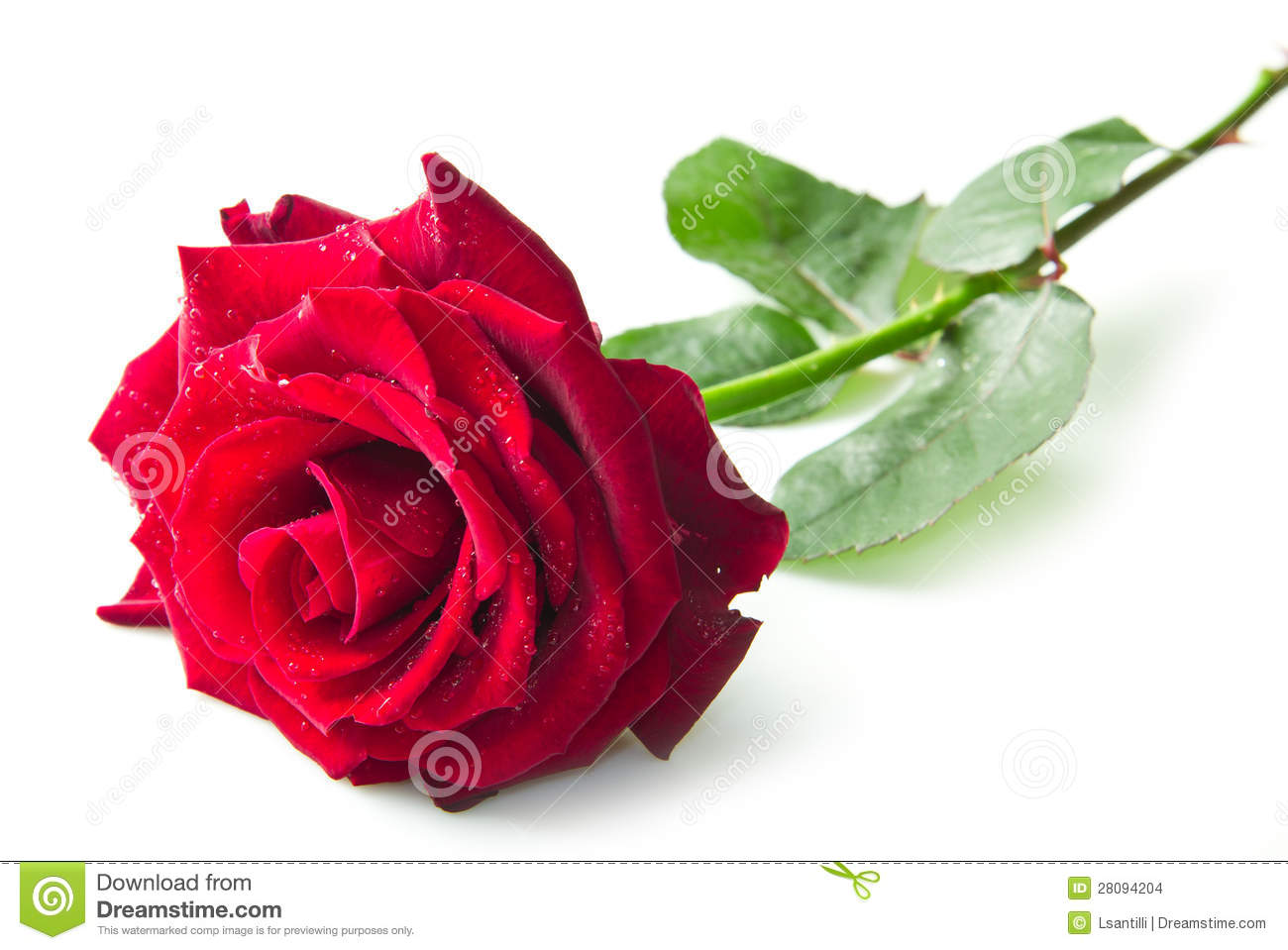 Beautiful Single Red Rose Flower Isolated Royalty Free: Single Red Rose Flower Stock Photo. Image Of Event