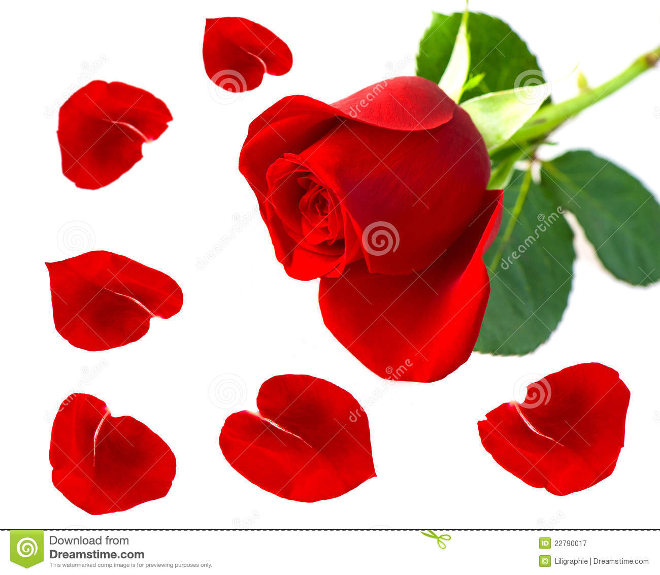 Single red rose flower with petals royalty free stock for Individual rose petals