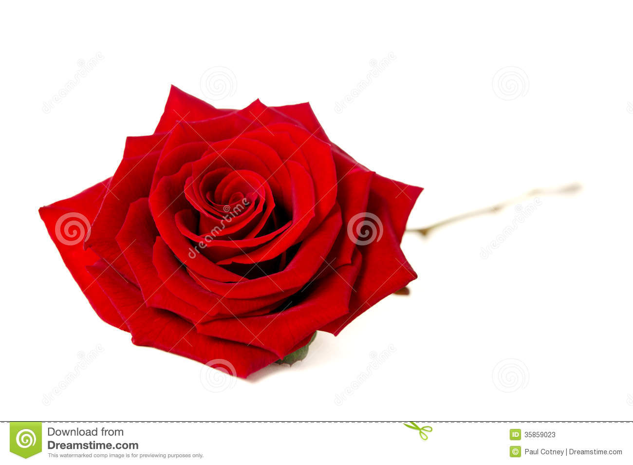 Beautiful Single Red Rose Flower Isolated Royalty Free: Single Red Rose Isolated On A White Background Stock Image