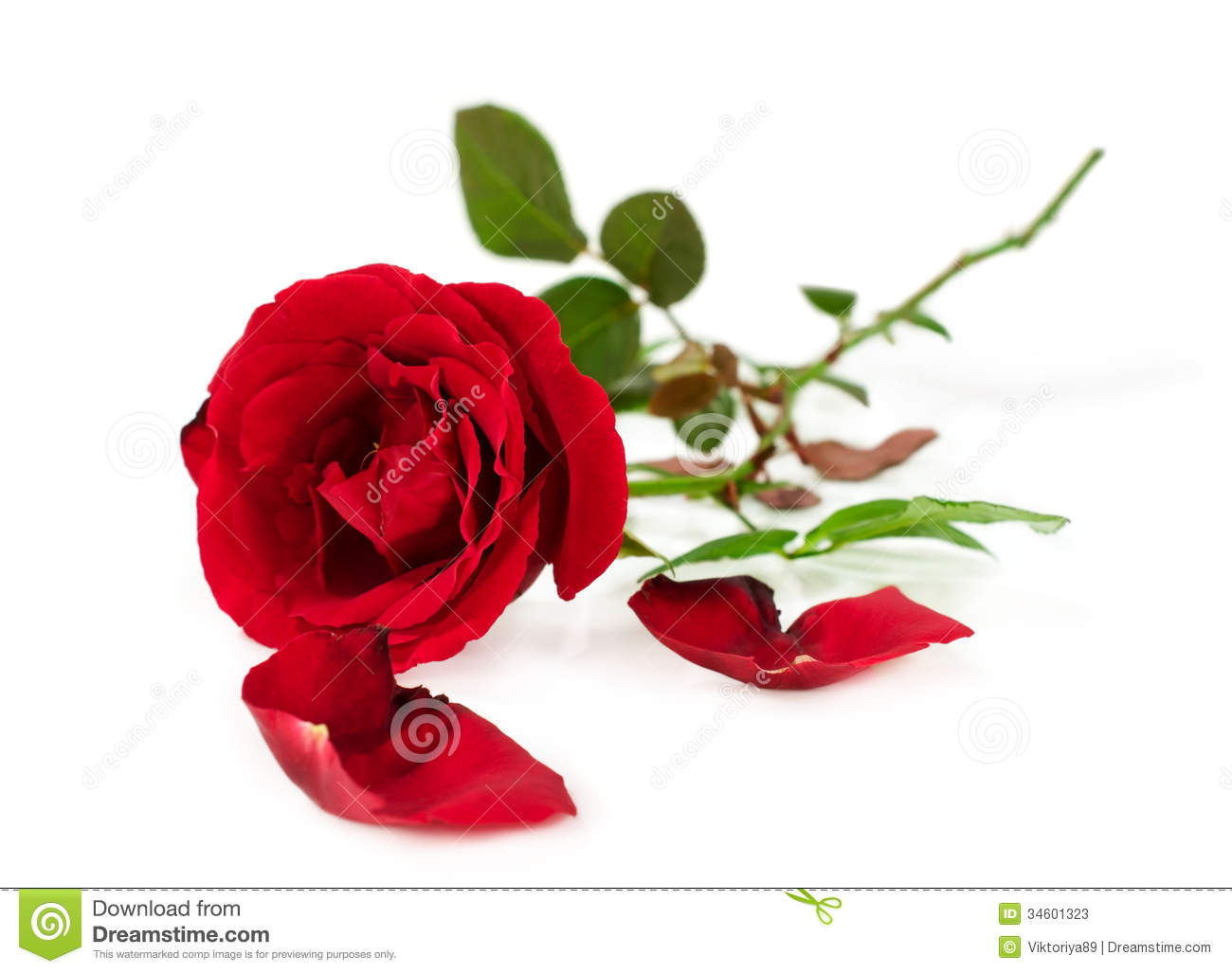 Beautiful Single Red Rose Flower Isolated Royalty Free: Single Red Rose Stock Image. Image Of Love, Green, Natural