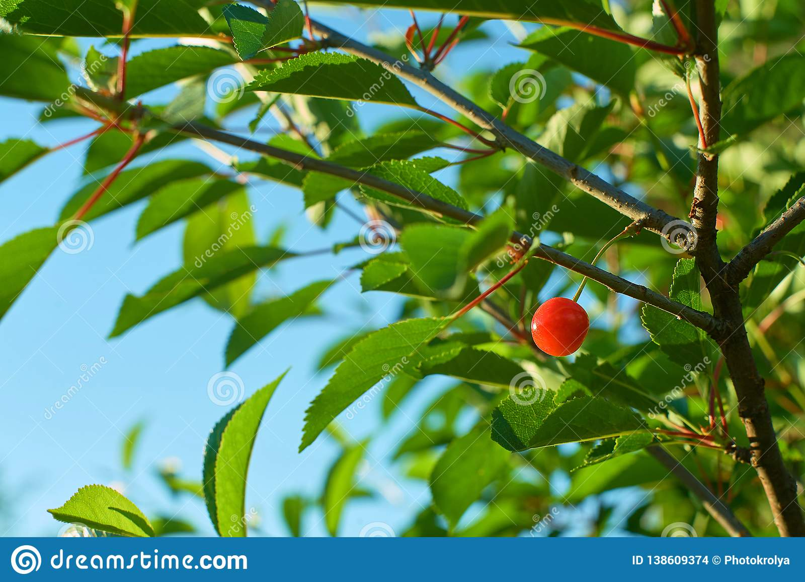 Single ripe cherry fruit hanging on branch.