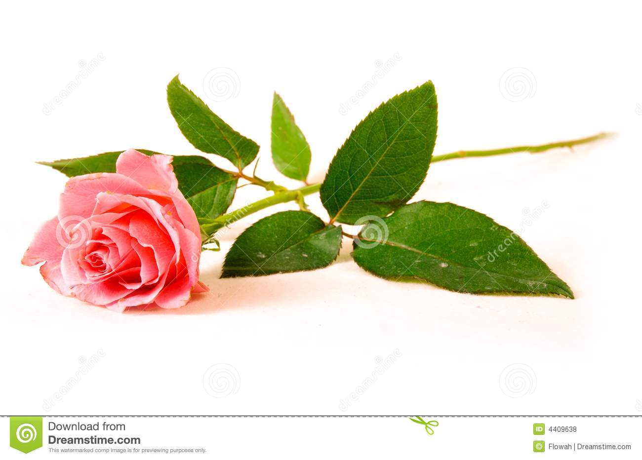 Beautiful Single Red Rose Flower Isolated Royalty Free: A Single Rose Stock Photo. Image Of Bright, Long, Isolated