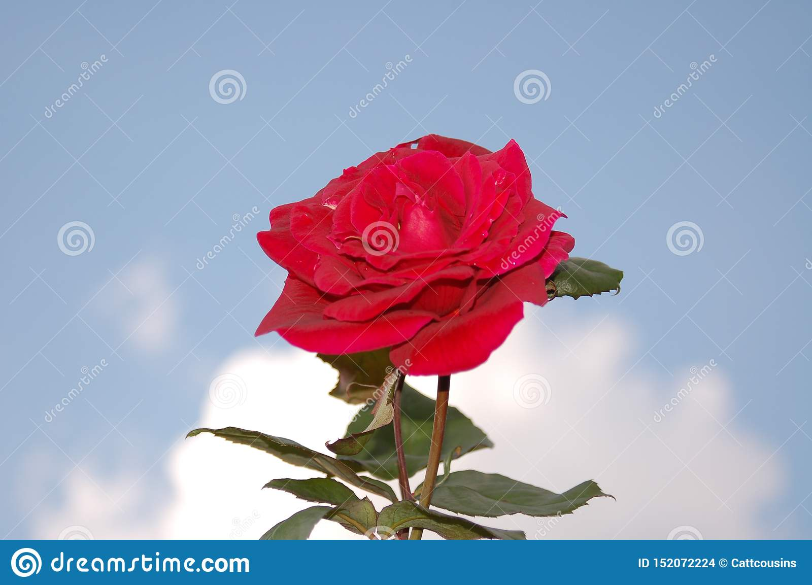 A single rose in the sky