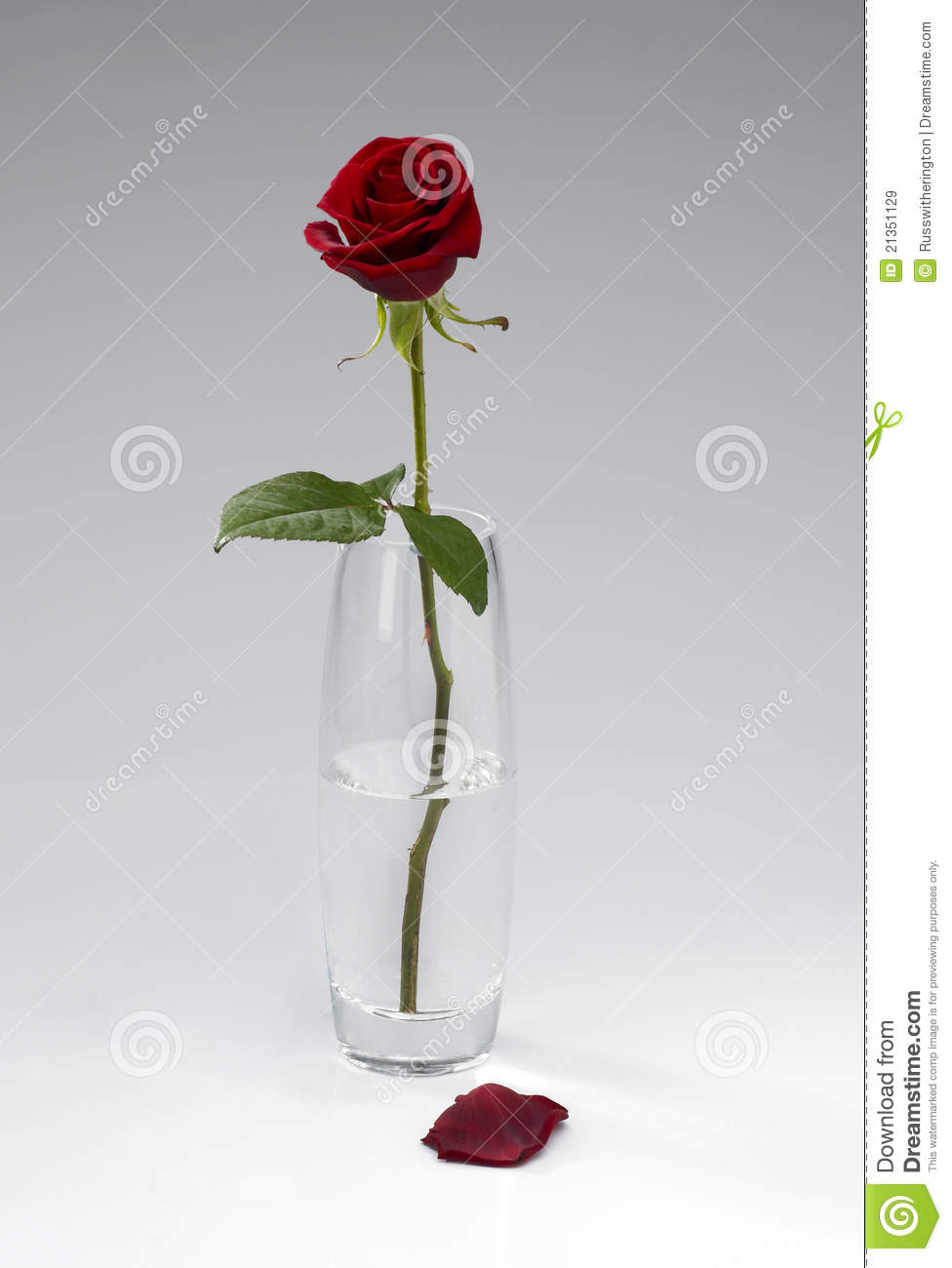 Single rose in vase stock image image of rose bloom 21351129 single rose in vase floridaeventfo Choice Image