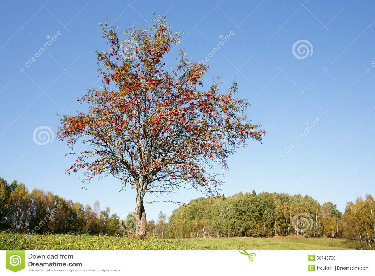 Single rowan tree