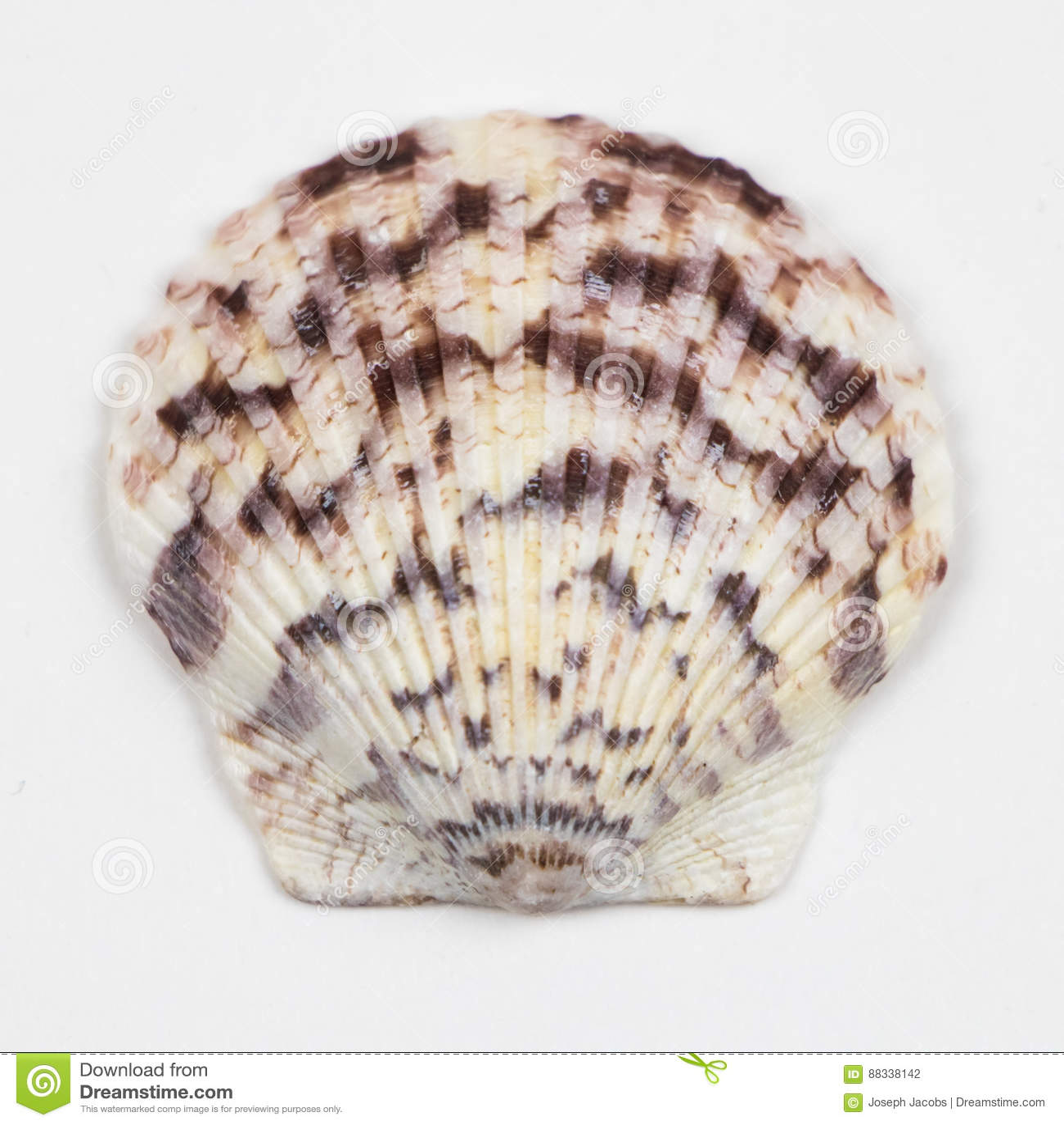 Single Seashell Isolated on White