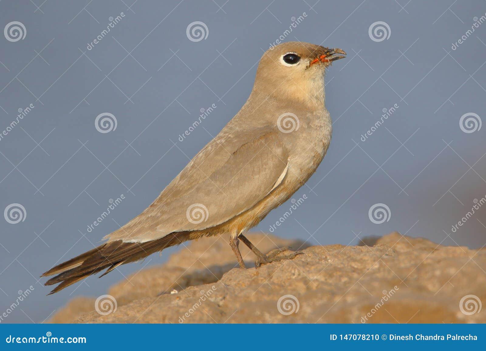 Small pratincole bird.