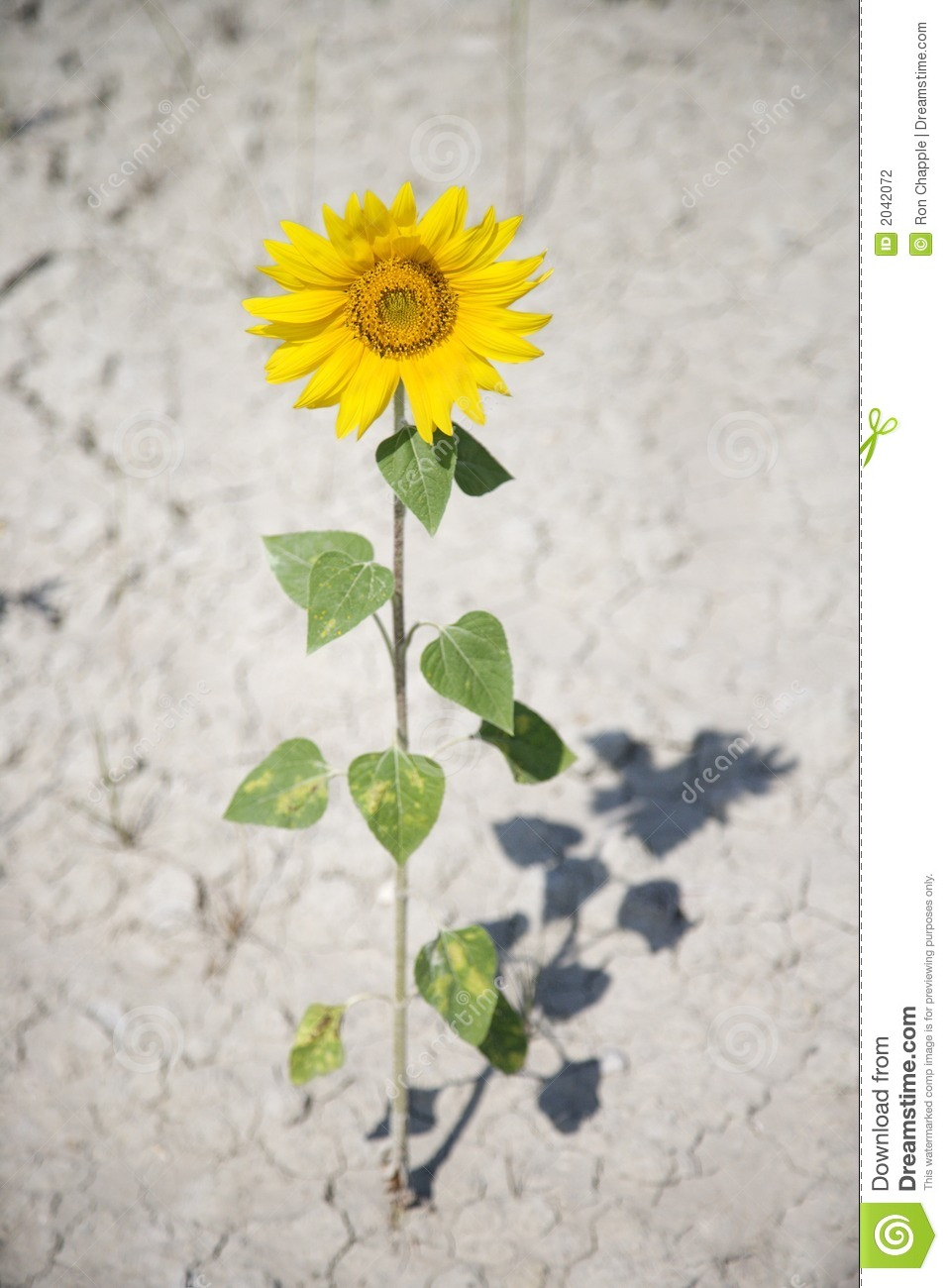 single sunflower in dirt. stock photography  image, Beautiful flower