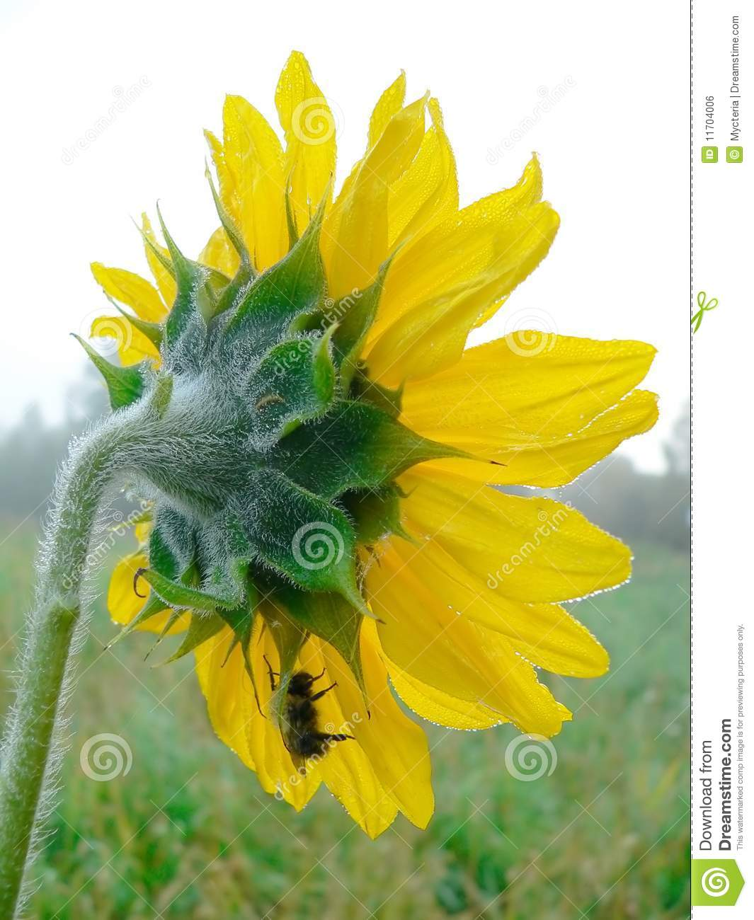 single men in sunflower Stamen is the latin word meaning or alternatively the two locules may merge late in development to give a single locule extreme cases of stamen fusion occur in.
