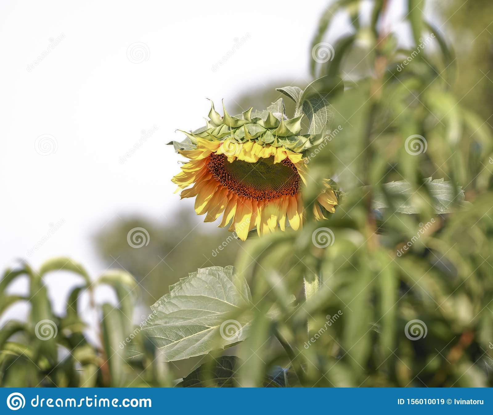 Single sunflower in the field on a sunny day