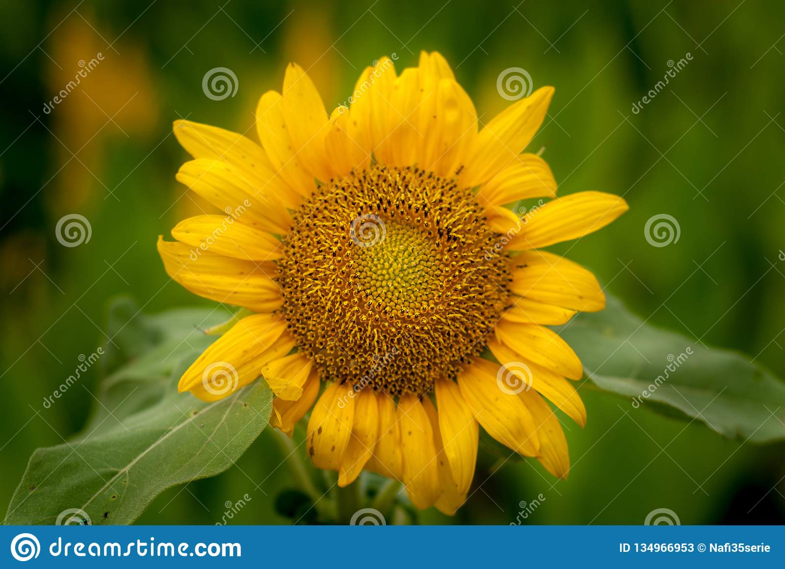 Single sunflowers with blurry backgrounds
